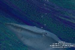Blue whale birth - photo#18